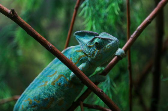 like a chameleon, energy budgets must be adaptable